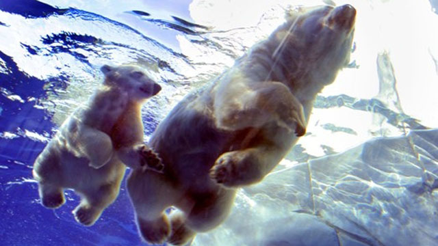 As Arctic ice melts, polar bear cubs die making long swims
