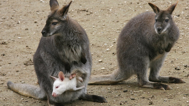 Stoned wallabies blamed for crop circles in Australia